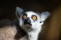 Lemur in Mauritius