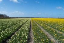 Daffodil field Texel