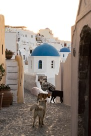 Wild Dogs in Oia Santorini