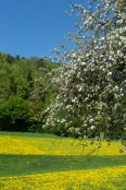 Flourishing meadows near Tüchersfeld Franconian Switzerland