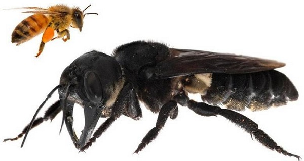 В Индонезия е открита най-голямата пчела в света