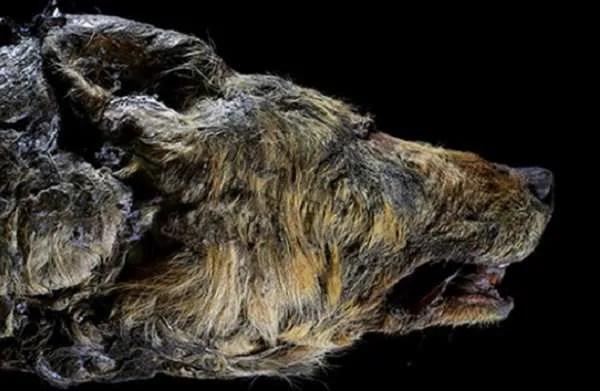 В Сибир е намерена глава на древен вълк, живял преди 40 хиляди години