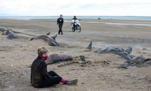 Голямо стадо мъртви гринди открито на брега на Исландия (видео) 18+