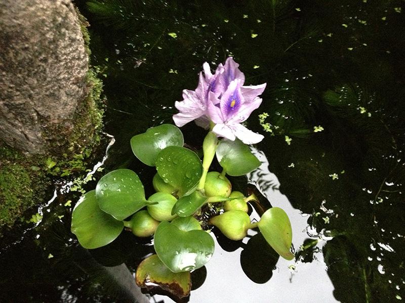 メダカ池の浮き草についた花
