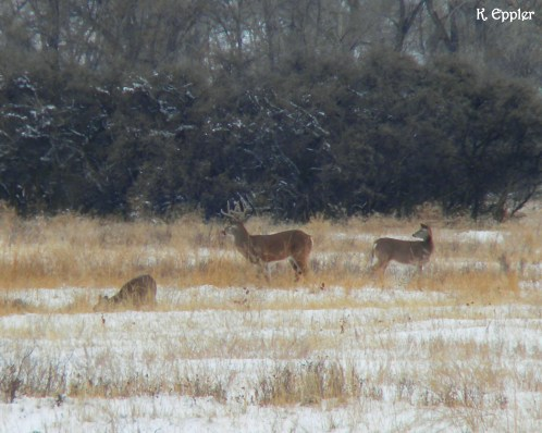 Whitetail deer browsing behind the house.