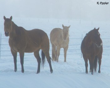 Sandy, Sookie, and Nip, telling me to quit taking pictures and get to the hay throwing.
