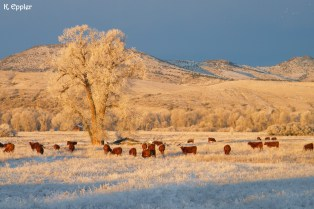 """Cattle congregating beneath """"The Tree."""""""