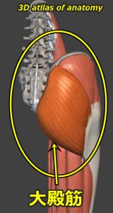 大殿筋 解剖