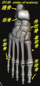 足部の骨 解剖