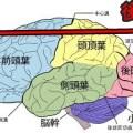 大脳基底核,機能