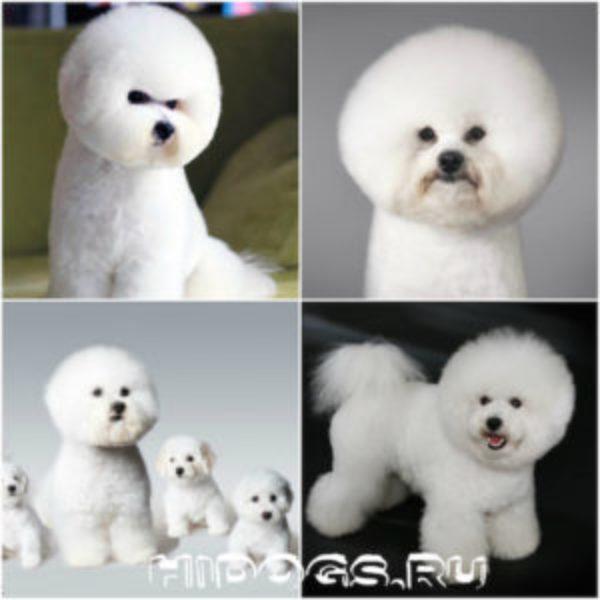 Описание собак породы Бишона Фризе, стандарт породы, описание, особенности ухода, питание и воспитание.