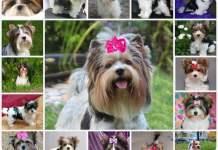 Описание породы Бивера мини йорка, описание собаки, особенности ухода, выбор щенка