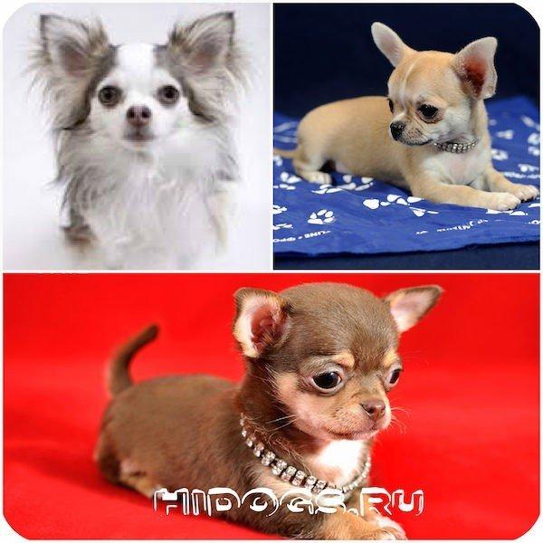 Особенности мини-собак.