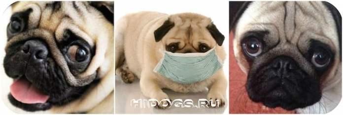 болезни мопсов, ососбенности породы, уход и здоровье
