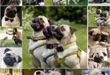 Воспитание мопса, что нужно знать, дрессировка собаки с чего начать, обучение командам, обучение собаки дома, самостоятельно.