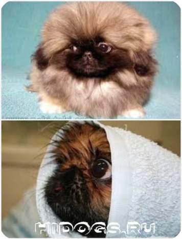 Воспитание и дрессировка пекинеса, как приучить щенка к туалету.
