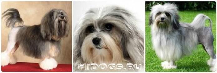 Особенности породы и уход за лион бишоном, характер собаки, история породы.