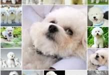 Особенности ухода и содержания собак породы бишон фризе, история породы.