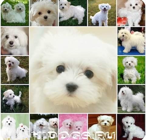 Болоньез, описание породы, история итальянской болонки, характер и уход за собакой.