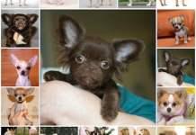 Стандарт породы чихуахуа, особенности, выбор щенка, характер собаки.