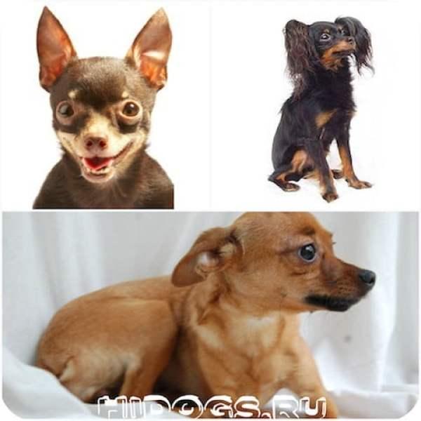 Русский той терьер: особенности породы, воспитание, уход за щенком и собакой