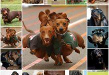Продолжитнльность жизни таксы, здоровье, уход за собакой.