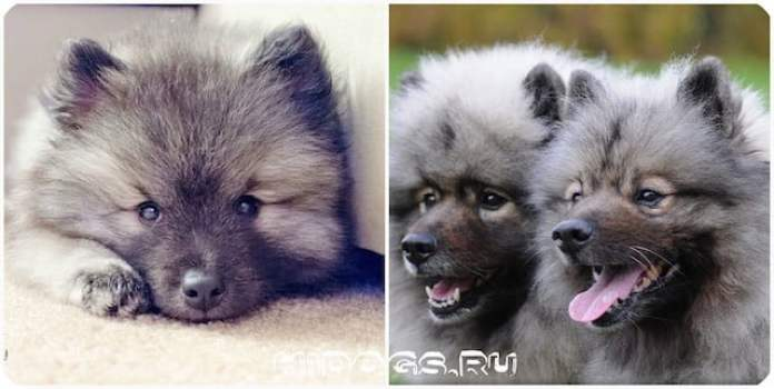 Немецкий вольфшпиц описание породы, характеристика и особенности породы, уход за собакой.