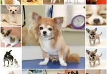 Натуральное питание для чихуахуа, кормление собаки в домашних условиях, рацион питания.