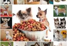 Питание щенков чихуахуа, чем кормить собаку чихуахуа.