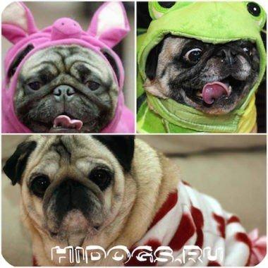 Одежда для мопса, как выбрать, что необходимо, как сшить одежду собаке.
