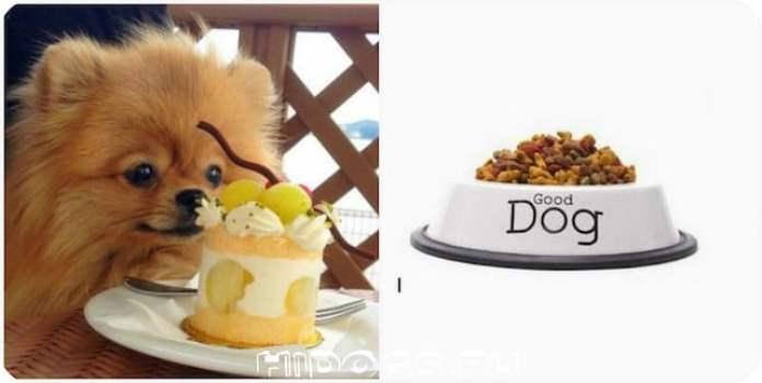 Все о питание померанского шпица - как правильно кормить собаку, рацион питания.