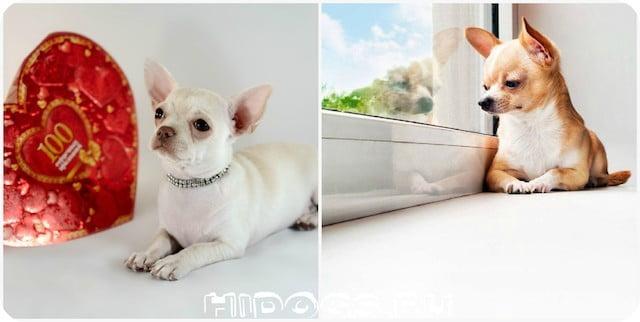 Уход за глазами собак породы чихуахуа, особенности гигиены шлаз, аллергия, болезни глаз.