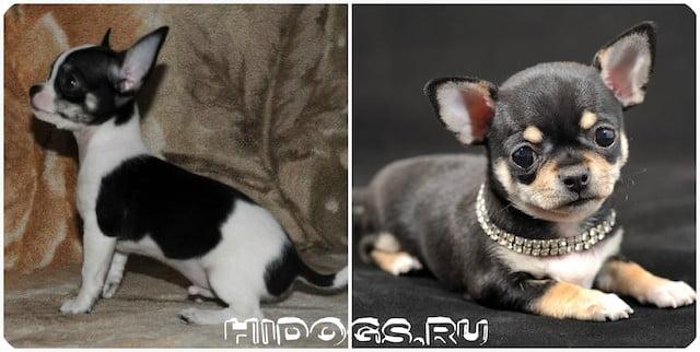 Причины возникновения лиьки у собак породы чихуахуа, уход за шерстью собаки.