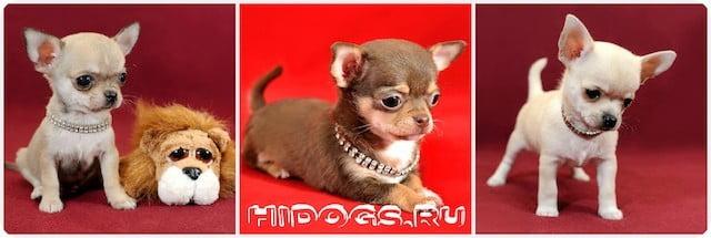 История породы собак чихуахуа, мифы, исторические данные, различные мнения о происхождении породы, оособенности мини собак и собак чихуахуа.