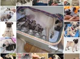 Роды мопса в домашних условиях, как подготовиться, как принять роды у собаки, особенности домашних родов у собак породы мопс.