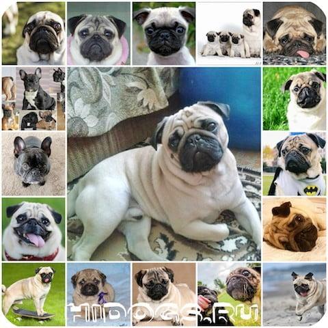 История породы собаки мопсов, характер, кход, дркссировка, питание, содержание. Интересные факты о породе.