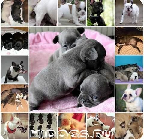 Уход во время беременности и подготовка к родам у французского бульдога, особенности родового процесса, уход за щенками.