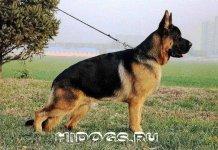 Описание породы китайских овчарок, характер и содержание собаки, особенности воспитания.