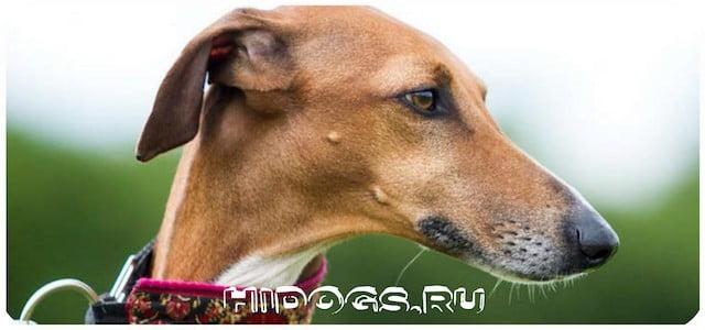 Описание породы собак Азаак, история развития, стандарт, особенности содержания.