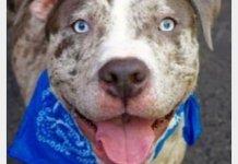 Существует ли порода албанского питбуля, окрасы мерль и особенности собак голубого окраса.