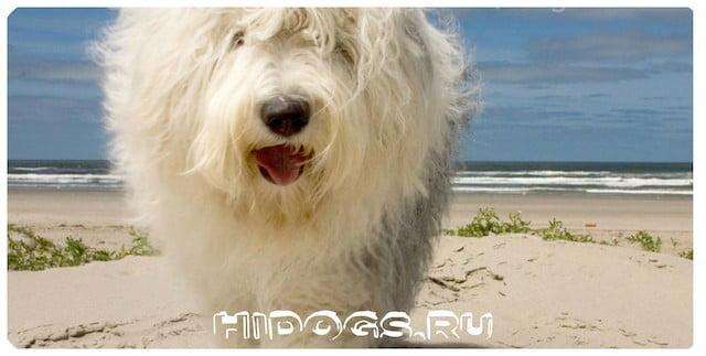 Порода собак староанглийских овчарок - бобтейл, описание собаки, особенности ухода, кормления, дрессировки, питание.