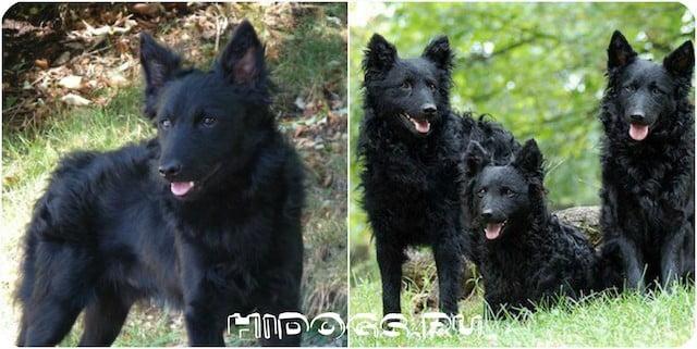 Все о породе собак Муди (венгерская овчарка), особенности ухода, стандарт, внешний экстерьер, характер и воспитание друга.