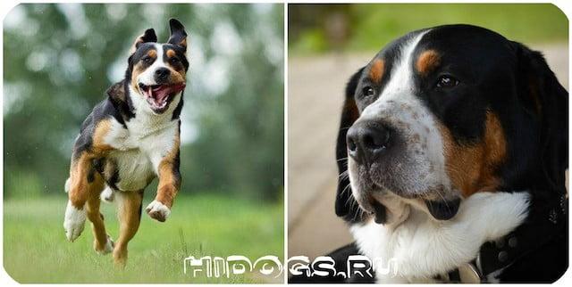 Стандарт породы собак (Зенненхунд) большого швейцарского Гросса, особенности содержания и воспитания, здоровье, уход.