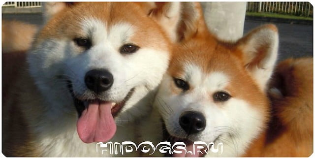 Порода собак из Японии - Акита ину, породное описание, стандарт, уход и особенности характера, воспитания Акит.