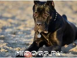 Порода собак Кане корсо, особенности содержания, описание внешности и породного стандарта.