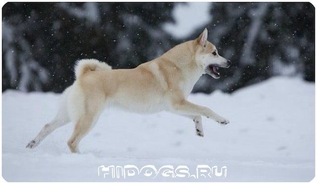 Норвежские бухунды, особенности содержания овчарки, стандарт породы, уход, здоровье, как купить щенка.