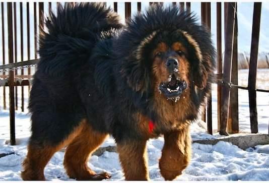 Собака породы - тибетский мастиф, стандарт породы, описание особенностей, характера и содержания.