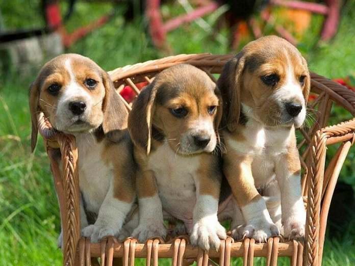 Три щенка на стуле.