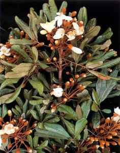 Catuaba medicinal