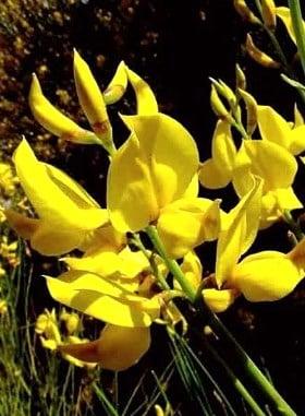 Flores de Gayomba